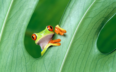 Red-eyed tree frog wallpaper