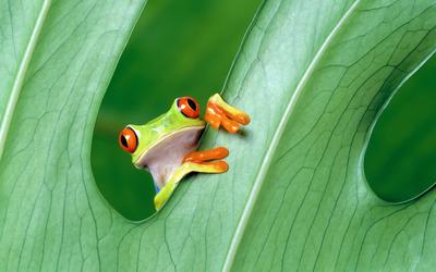 Red-eyed tree frog wallpaper