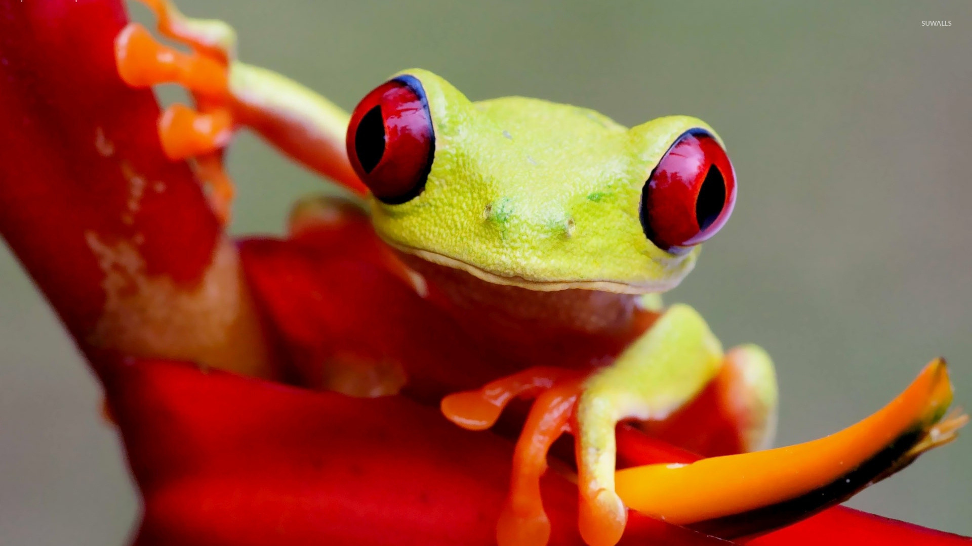 Tree Frog Wallpaper HD Wallpapers Download Free Images Wallpaper [1000image.com]