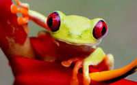 Red-eyed tree frog [2] wallpaper 1920x1080 jpg