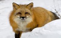 Red fox in the snow wallpaper 1920x1200 jpg