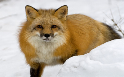 Red fox in the snow wallpaper