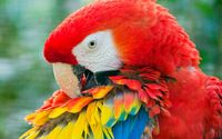 Red Macaw close-up wallpaper 2560x1600 jpg