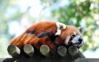 Red panda [3] wallpaper 1920x1200 jpg