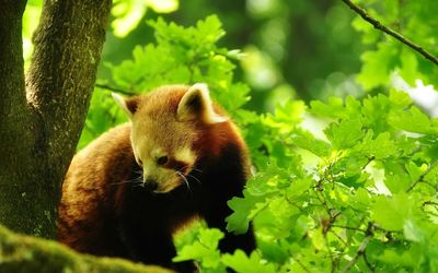 Red panda [6] wallpaper