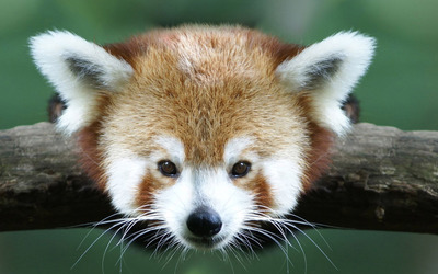 Red panda [5] wallpaper