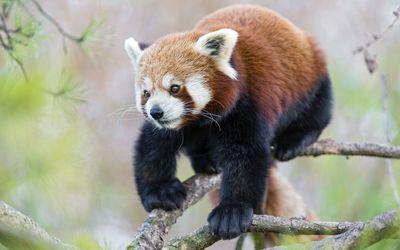 Red Panda [9] wallpaper