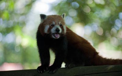 Red panda [12] wallpaper