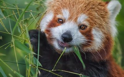 Red panda [11] wallpaper