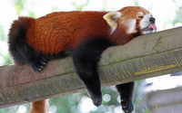 Red panda [8] wallpaper 2560x1600 jpg