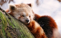 Red panda [7] wallpaper 3840x2160 jpg