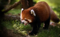 Red panda [2] wallpaper 1920x1080 jpg