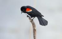 Red-winged blackbird on a cattail wallpaper 1920x1200 jpg