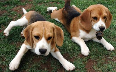 Resting Beagle puppies wallpaper