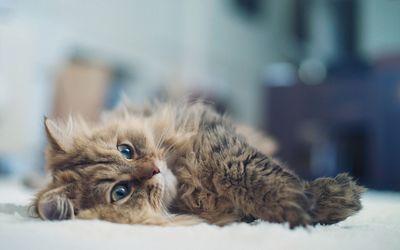 Resting cat wallpaper