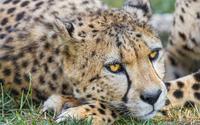 Resting cheetah wallpaper 2560x1600 jpg