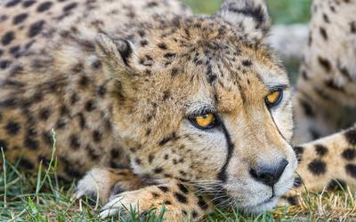 Resting cheetah wallpaper