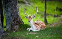 Resting deer wallpaper 2560x1600 jpg