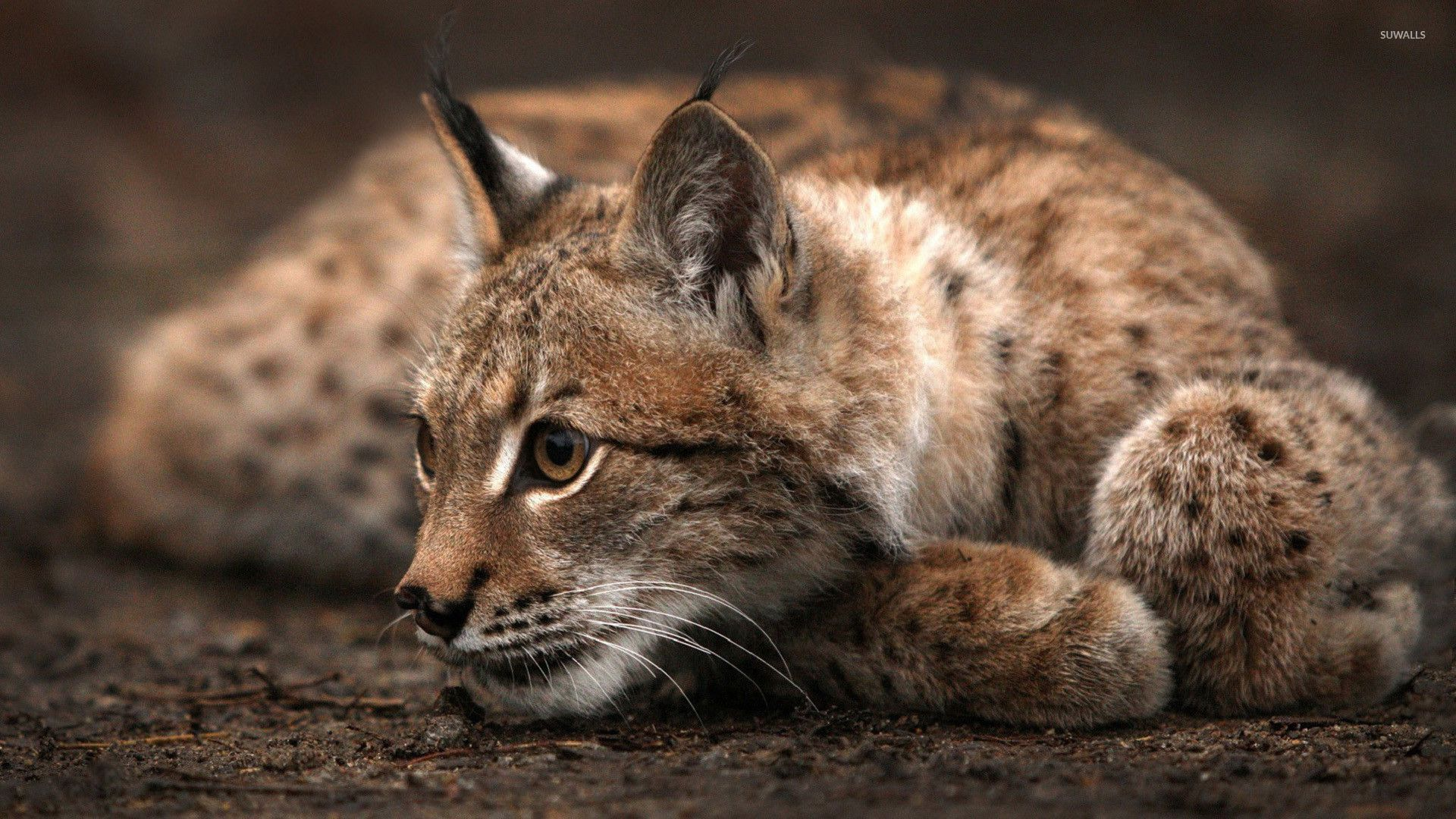 природа животные рысь nature animals lynx подборки