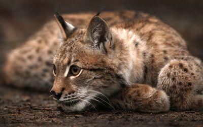 Resting lynx wallpaper