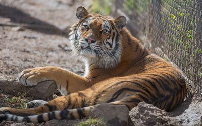Resting tiger Wallpaper