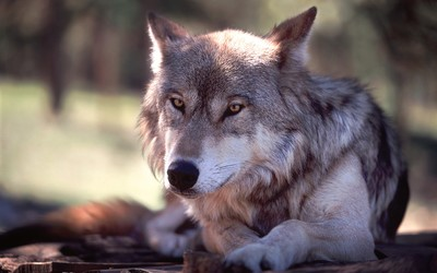 Resting wolf wallpaper