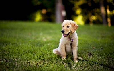 Retriever puppy in the grass wallpaper