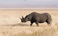 Rhino on a field wallpaper 1920x1200 jpg