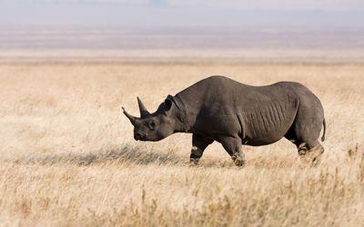 Rhino on a field wallpaper