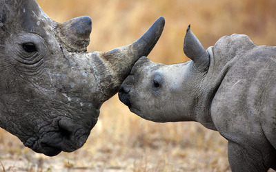 Rhinoceros with calf wallpaper