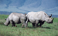 Rhinoceroses [2] wallpaper 1920x1200 jpg