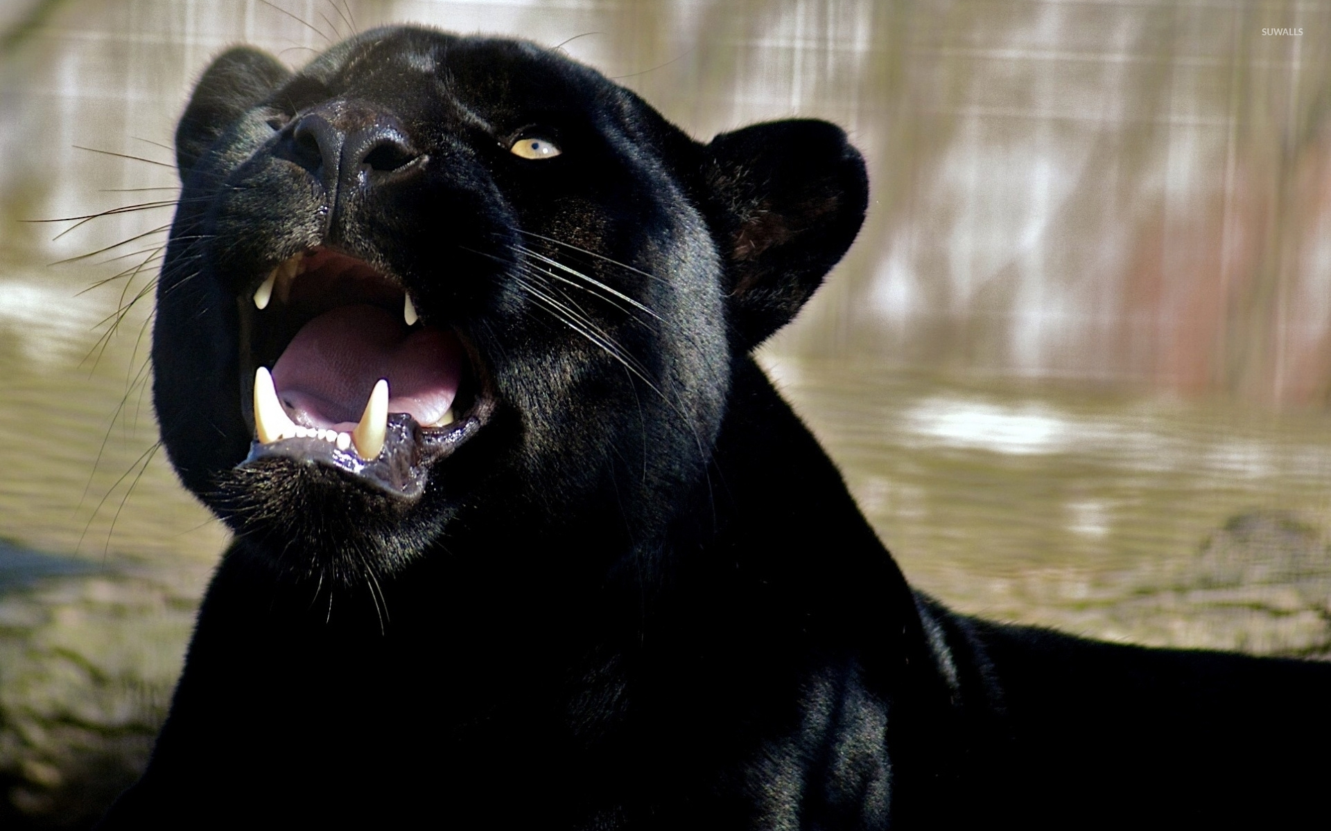 Roaring Black Panther Wallpaper Animal Wallpapers 47284