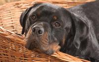 Rottweiler wallpaper 1920x1080 jpg