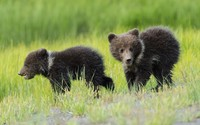 Running bear cubs wallpaper 1920x1200 jpg