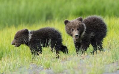 Running bear cubs wallpaper