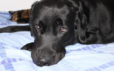 Sad black dog resting on the bed wallpaper