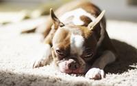 Sad dog resting on a white carpet wallpaper 1920x1200 jpg