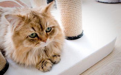 Sad fluffy cat wallpaper