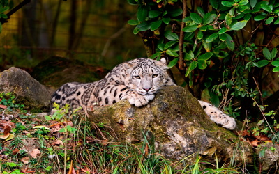 Sad Snow Leopard resting on a mossy rock wallpaper