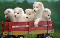 Samoyed  puppies wallpaper 1920x1200 jpg