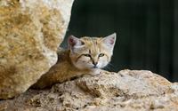 Sand cat resting on a rock wallpaper 2560x1600 jpg