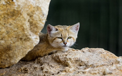 Sand cat resting on a rock wallpaper