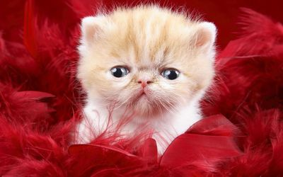 Scared kitten between red feathers wallpaper