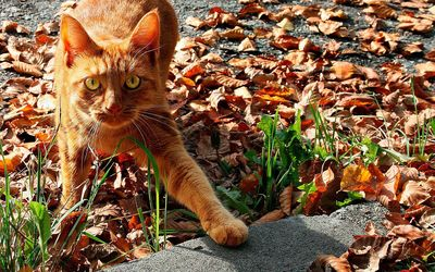 Scared orange cat in the leaves wallpaper