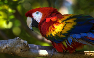 Scarlet Macaw [3] wallpaper