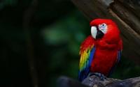 Scarlet Macaw wallpaper 1920x1200 jpg