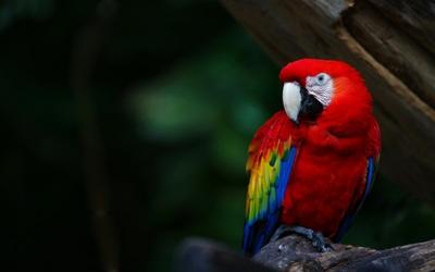 Scarlet Macaw wallpaper