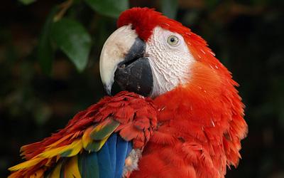 Scarlet Macaw [2] wallpaper