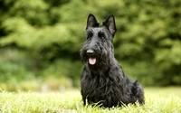 Scottish Terrier wallpaper 2560x1600 jpg