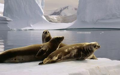 Sea lions wallpaper